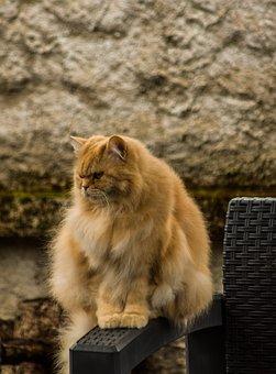 Cat, Persian, Pet, Animal, Domestic Cat, Feline, Mammal