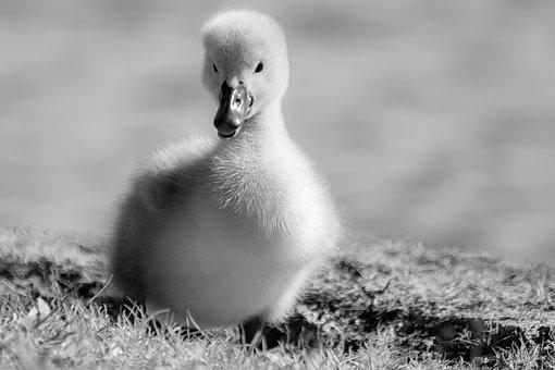Swan, Duckling, Chick, Young Swan, Water Bird, Cygnet