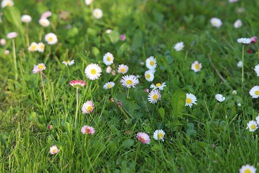 Daisies, Flowers, Grass, Common Daisies, White Flowers