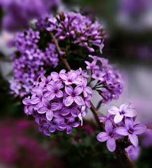 Lilac, Flowers, Branch, Common Lilac, Syringa
