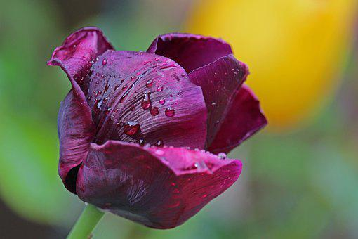 Flowers, Tulips, Petals, Stem, Spring Flower, Flora