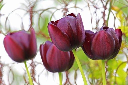 Flowers, Tulips, Petals, Stem, Purple Tulips
