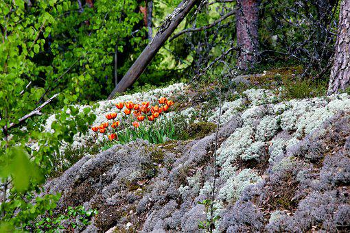 Forest, Flowers, Spring, Nature, Woods, Tulips, Lichen