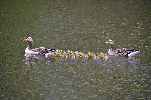 Family, Family Outing, Grey Geese, Canada Geese