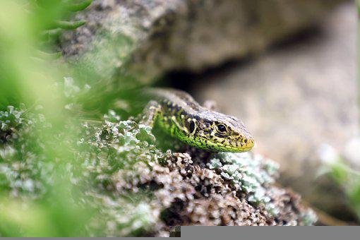 Lizard, Reptile, Animal, Close Up, Wilderness, Head