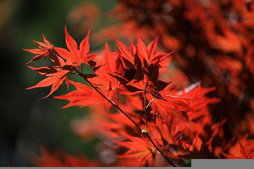 Maple, Maple Leaves, Red, Autumn, Leaves, Foliage