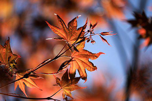 Maple, Maple Leaves, Autumn, Leaves, Foliage