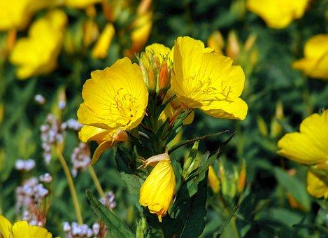 Evening Primrose, Flowers, Plants, Oenothera Biennis