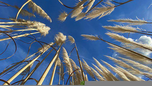 Pampas Grass, Grass, On The Ground, Cortaderia Selloana