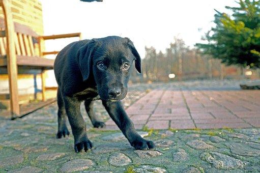 Dog, Puppy, Pet, Labrador, Animal, Young Dog