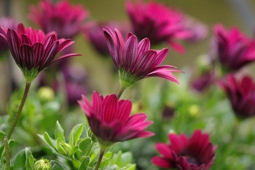 African Daisy, Flowers, Plant, Osteospermum