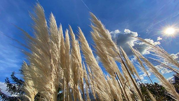 Pampas, Grass, Beige, Plants, Nature, Plume, Park
