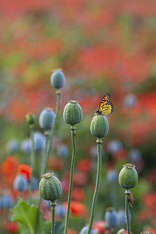 Poppy, Seed Pods, Butterfly, Insect, Plant, Garden