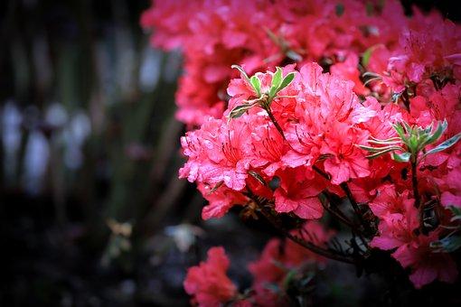 Azalea, Pink, Flowers, Inflorescence, Rhododendron