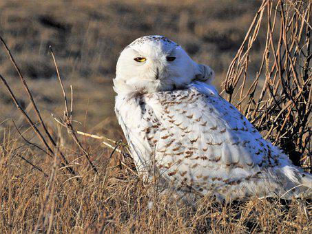 Snowy Owl, Sleepy, Owl, White Owl, Nocturnal, Feathers