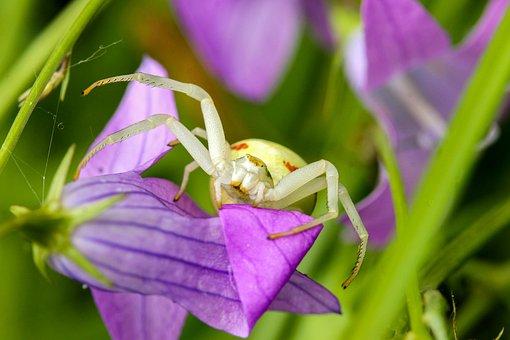 Spider, Insect, Arachnid, Nature, Macro, Animals, Fauna