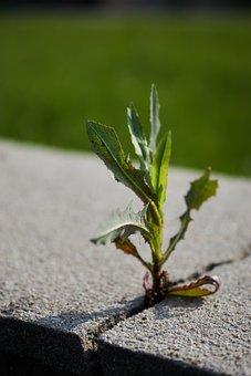 Dandelion, Concrete, Strong, Crack, Green, Nature