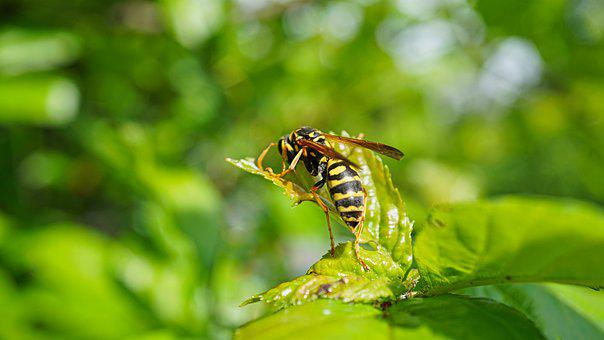 Wasp, Summer, Leaves, Insect, Nature, Yellow, Allergy