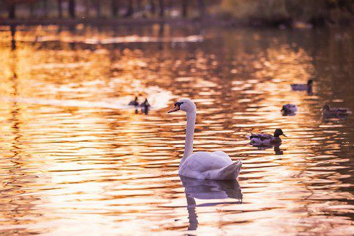 Swan, Birds, Waterfowls, Ducks, Water Birds, Feathers