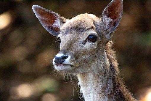 Deer, Ruminant, Fur, Mammal, Forest, Animal, Wild