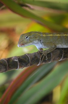 Lizard, Reptile, Animal, Nature, Wilderness, Scaly