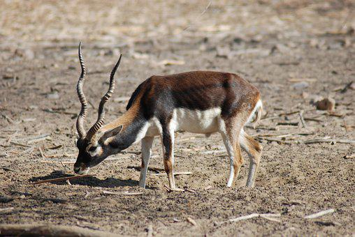Deer, Horns, Ruminant, Fauna, Animal, Chinkara, Hiran