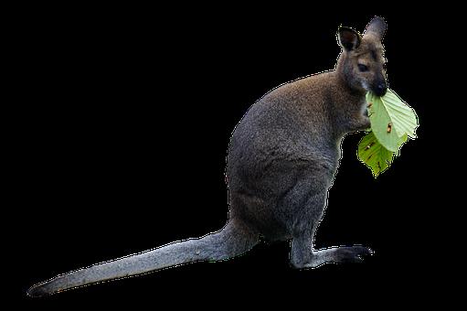 Wallaby, Macropod, Marsupial, Animal, Mammal, Australia