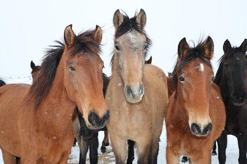 Horses, Herd, Brown Horses, Equines, Mammals, Animals