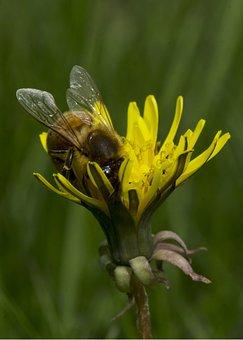 Honey Bee, Dandelion, Pollen, Wings, Pollinate, Bloom