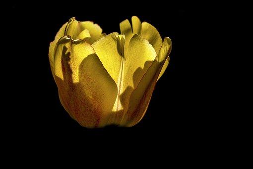 Flower, Tulip, Yellow, Spring, Flora, Bloom, Blossom