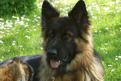 Dog, German Shepherd, Portrait, Pet, Canine, Furry