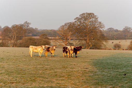 Longhorns, Cows, Pasture, Livestock, Farm Animals