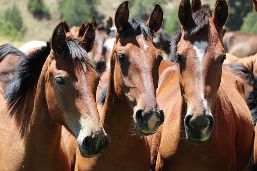 Horses, Heads, Horse Heads, Herd, Brown Horses, Equines