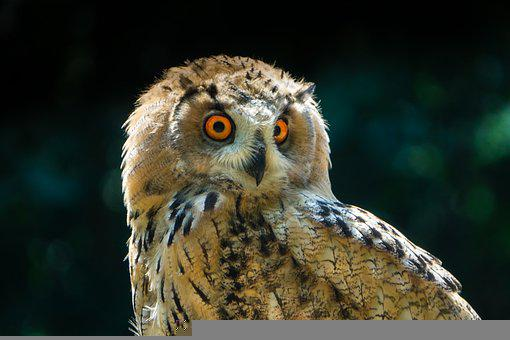 Eagle Owl, Owl, Bird, Head, Animal, Young Eagle Owl