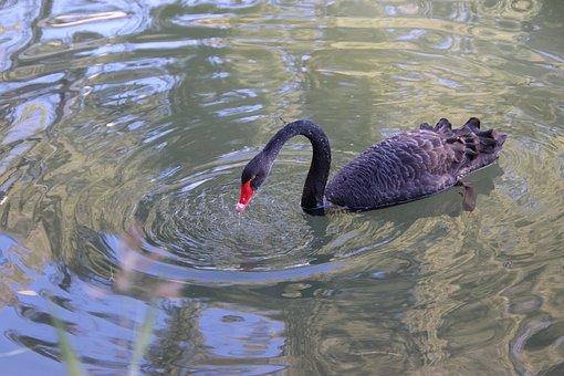 Swan, Bird, Lake, Black Swan, Water Bird, Aquatic Bird