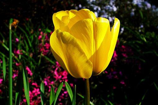 Tulip, Yellow, Flower, Spring, Plant, Nature, Petals