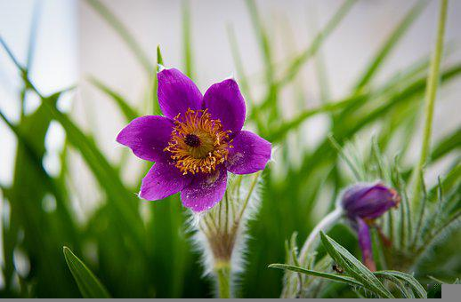 Pasqueflower, Purple Flower, Pulsatilla Vulgaris
