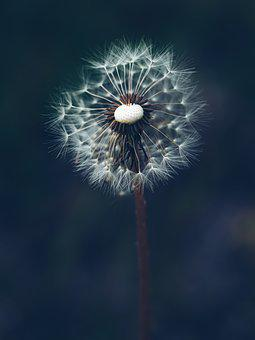 Dandelion, Flower, Seeds, Seed Head, Taraxacum