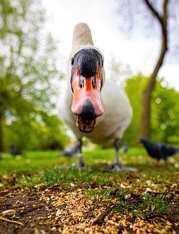 Swan, Bird, Head, Beak, Bill, White Swan, Waterfowl