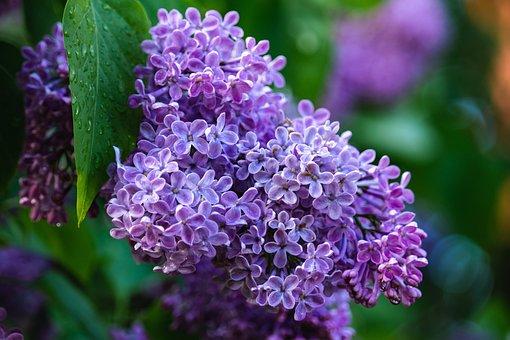 Lilacs, Flowers, Purple, Spring, Flora, Bloom