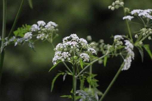 Yarrow, Flowers, Plant, White Flowers, Bloom