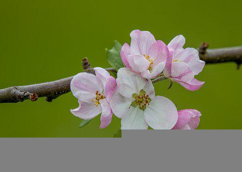 Flowers, Apple Blossoms, Branch, Bloom, Blossom, Flora