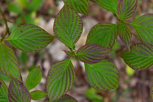 Leaves, Plant, Foliage, Bush, Shrub, Spring, Woodland