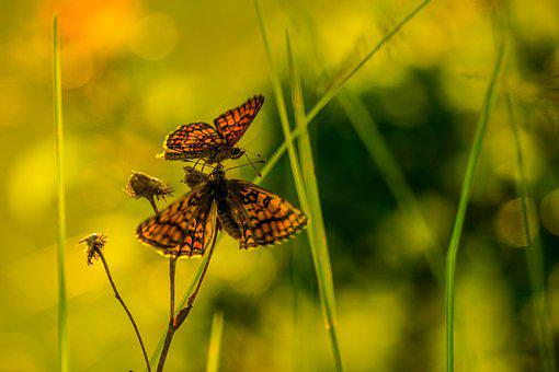 Butterflies, Wings, Insects, Lepidoptera