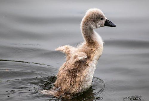 Swan, Young Swan, Cygnet, Water, Baby Swan, Swim, Wings