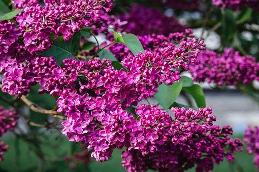 Lilacs, Flowers, Purple, Inflorescence, Spring, Flora