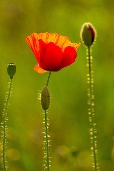 Poppy, Flower, Seed Pods, Meadow, Common Poppy