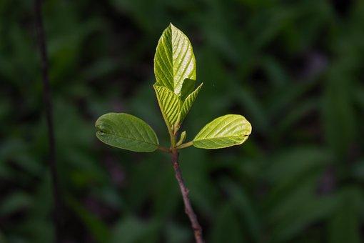 Ash, Leaves, Branch, Bud, Spring, Foliage, Bush, Plant