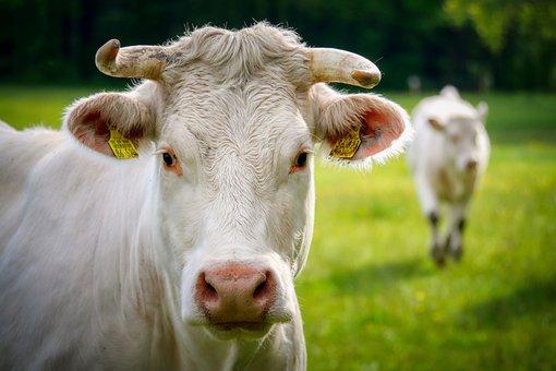 Cow, Animal, Livestock, Head, Horns, Beef, White Cow