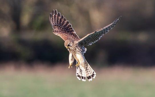 Kestrel, Hunting, Flying, Raptor, Bird, Animal